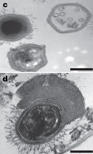 «Иярчен» белән зарарланган мимивирус кичәкчәләрендә еш кына тышчаның артык калынаюы күзәтелә. Масштаблы сызгычның озынлыгы 200 нм. Фото Nature мәкаләсеннән алынды.